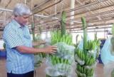 Xây dựng chuỗi liên kết trồng chuối xuất khẩu