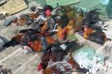 Nổ súng bắt giữ 31 đối tượng đá gà ăn tiền ở Tiền Giang