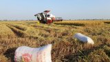 Doanh nghiệp nợ tiền mua lúa kéo dài, người dân nhờ chính quyền giúp đỡ