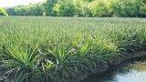 Vùng trồng khóm và khoai mỡ: Cần đầu tư kết cấu hạ tầng và tìm đầu ra cho nông sản