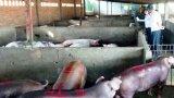 Long An cần tăng cường biện pháp an toàn sinh học trong chăn nuôi để phòng, chống dịch tả heo Châu Phi