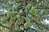 Chăm sóc sầu riêng giai đoạn mang trái