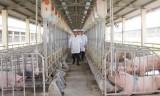 Chăn nuôi an toàn sinh học để bảo vệ đàn heo
