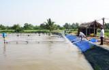 Cần Giuộc: Giá tôm giảm mạnh nông dân lo lắng