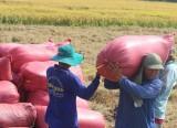 Giá lúa ở mức thấp, nông dân không có lãi