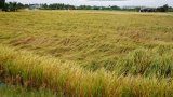 Thủ Thừa: Nhiều diện tích lúa sắp thu hoạch đổ ngã do gió mạnh