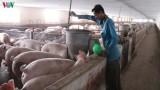 Bộ Nông nghiệp: Tiếp tục nhập khẩu lợn giống để phục vụ tái đàn