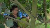 Trồng mít Thái mang lại hiệu quả kinh tế