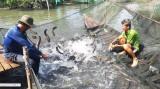 Tân Thạnh: Nông dân nuôi cá lóc gặp khó