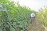 Nâng cao vai trò của hợp tác xã trong liên kết, bao tiêu nông sản