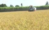 Sau vụ lúa Đông xuân, nông dân ĐBSCL tiếp tục trúng mùa, được giá vụ Hè thu