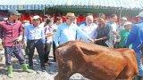 Nguyên Chủ tịch nước - Trương Tấn Sang trao 104 con bò giống cho hộ nghèo thị xã Kiến Tường
