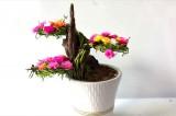 Độc đáo trào lưu trồng hoa mười giờ bonsai