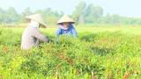 Lộc Giang: Diện tích trồng ớt giảm