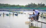 Giá tôm thấp, người dân ngại thả nuôi