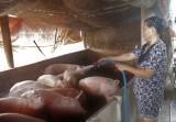 Dịch bệnh trên gia súc, gia cầm diễn biến phức tạp