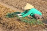 Hợp tác xã Rau an toàn Phước Hòa: Tất bật sản xuất phục vụ thị trường tết