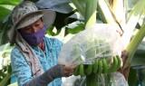 Vốn tín dụng chính sách giúp nông dân chuyển đổi cây trồng hiệu quả