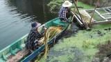 Trồng bông súng từ ao nuôi cá tra bột
