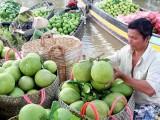 Gian nan hành trình đưa quả bưởi Việt Nam sang thị trường Nga