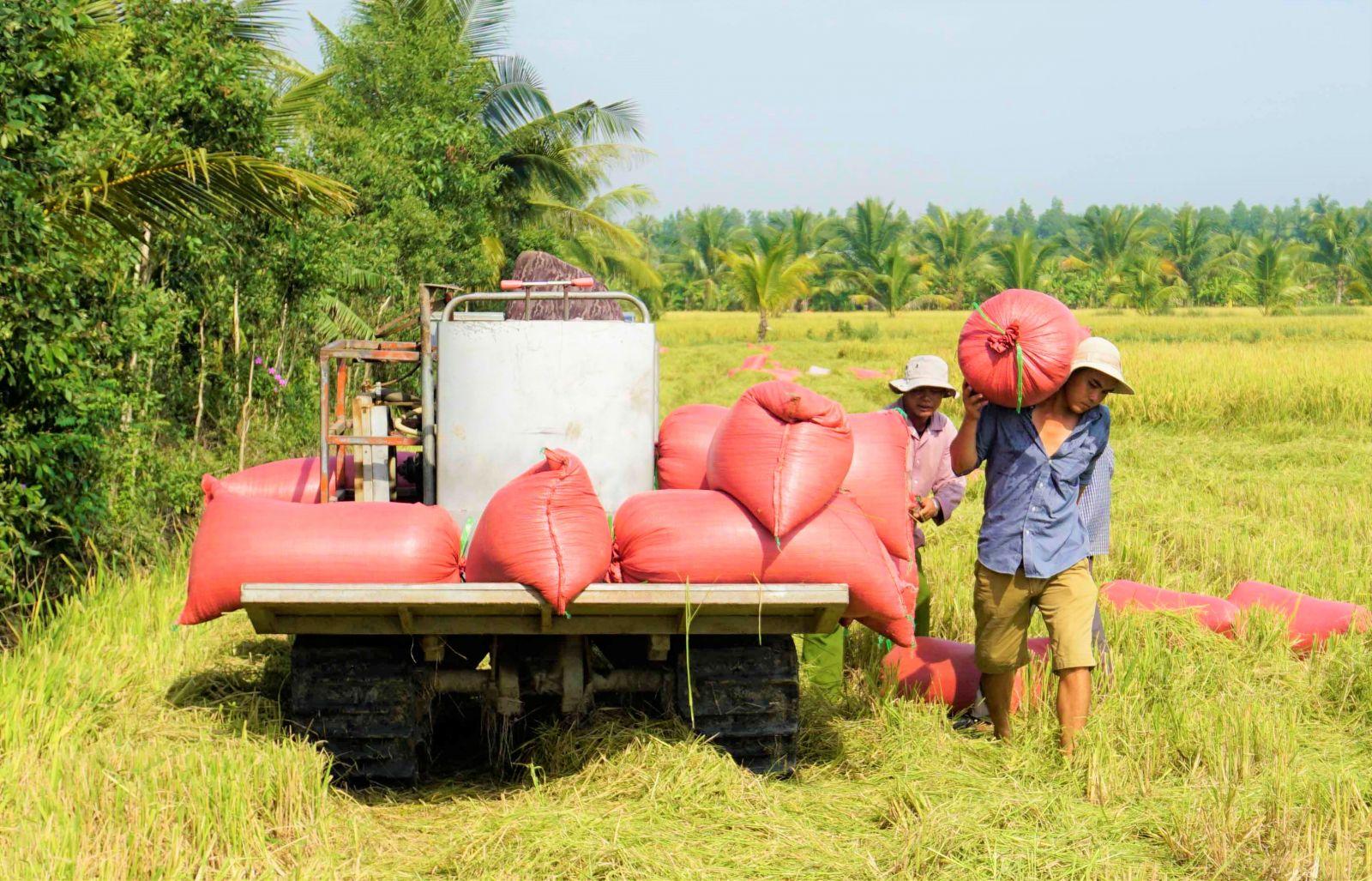Farmers harvest WS rice crop