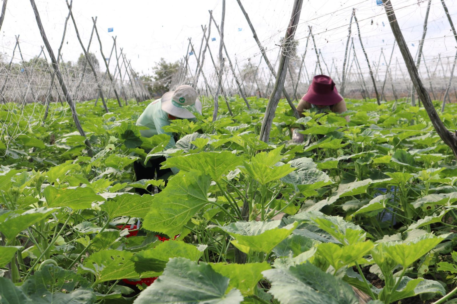 Hiện nay, một số hợp tác xã nông nghiệp trên địa bàn tỉnh dù có sự liên kết nhưng chưa chặt chẽ