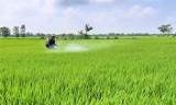 Toàn tỉnh đã xuống giống hơn 215.500ha lúa Hè Thu