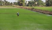 Phổ biến quy trình kỹ thuật quản lý sâu năn hại lúa