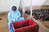 Phòng bệnh cho gia súc, gia cầm giai đoạn chuyển mùa