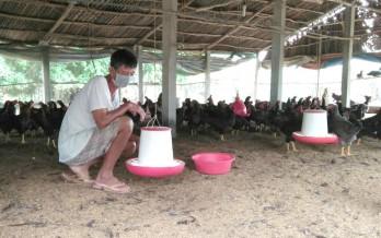 Làm giàu nhờ nuôi gà nòi Bình Định
