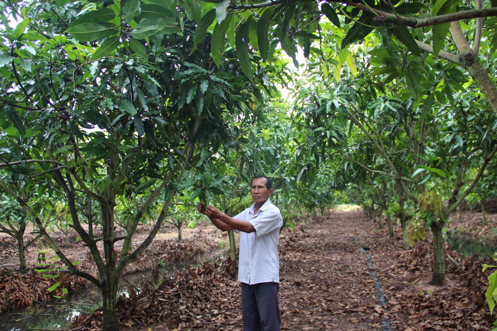 From the inefficient rice area, many farmers have switched to growing fruit trees and bringing higher economic efficiency (Illustrated Photo)