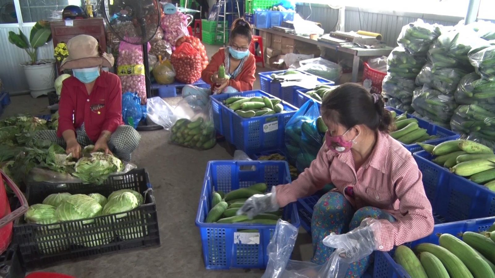 My Thanh Agricultural Cooperative prepares vegetables for people's consumption