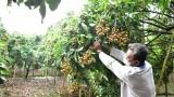 Nhãn 8.000 đồng/kg, nhiều loại nông sản ở ĐBSCL đang bị ùn ứ vì dịch bệnh
