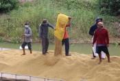 Vụ Hè Thu: Giá lúa giảm, nông dân có lợi nhuận thấp