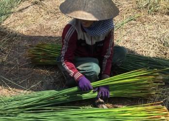 Ống hút cỏ bàng - sản phẩm thân thiện với môi trường