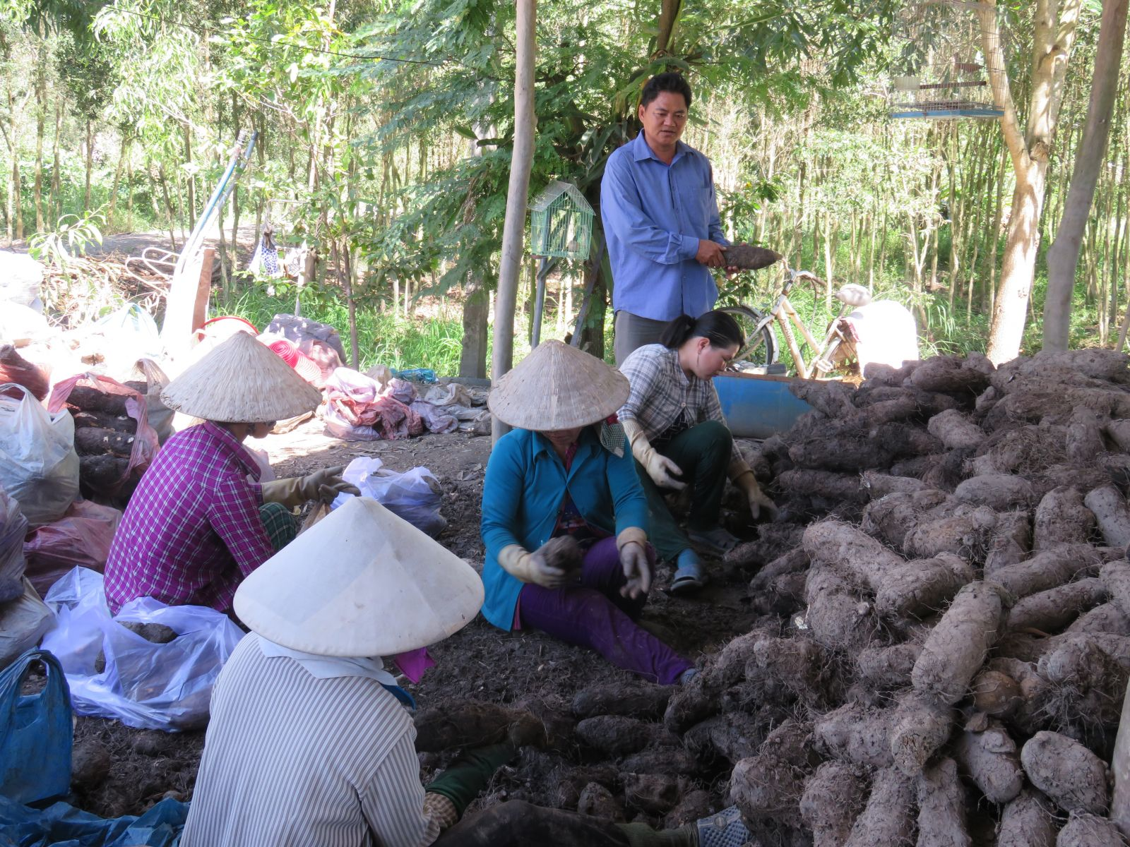 Yams are preliminarily processed and sold to the market (Illustrated Photo)