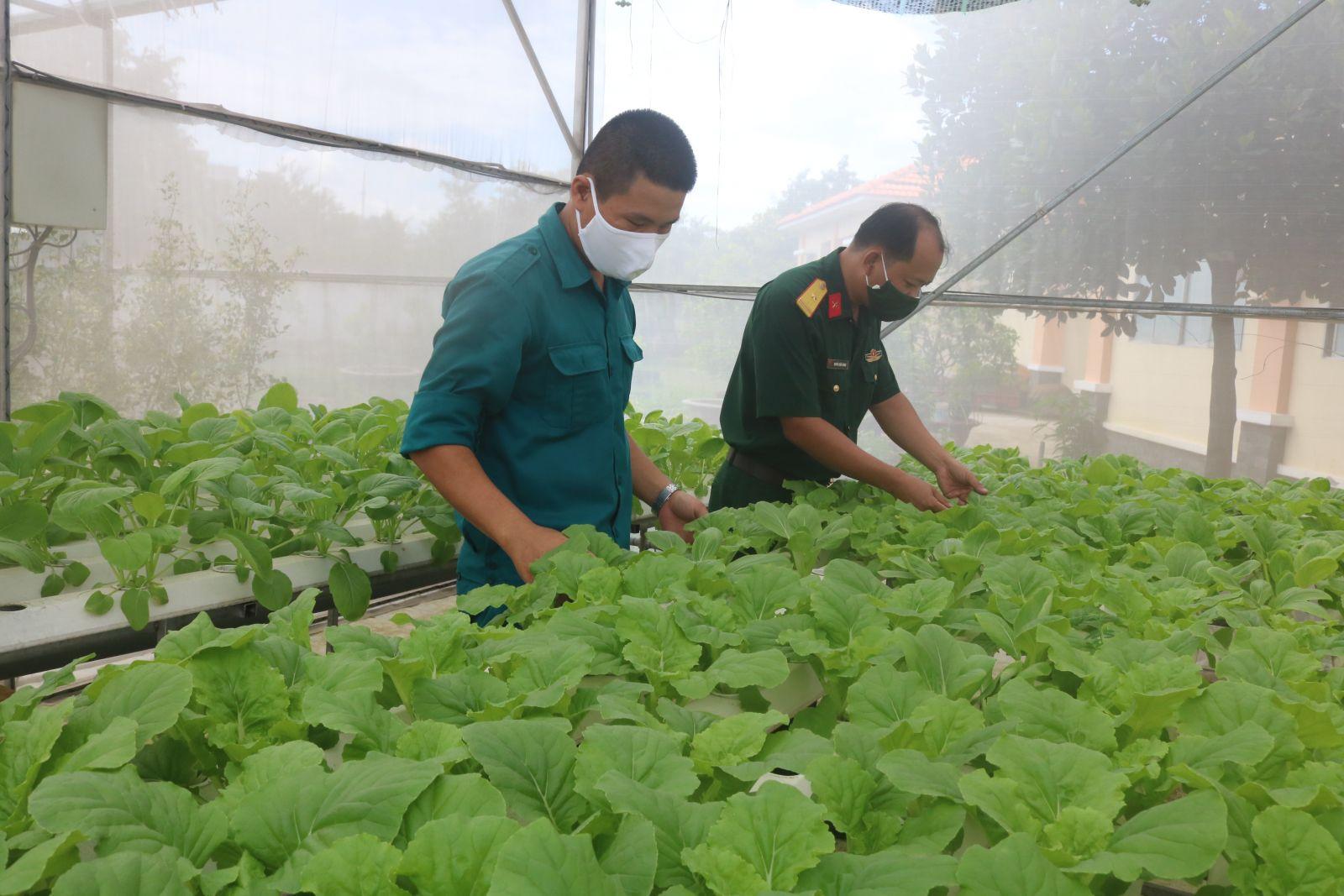 Vườn rau thủy canh công nghệ cao phát huy hiệu quả