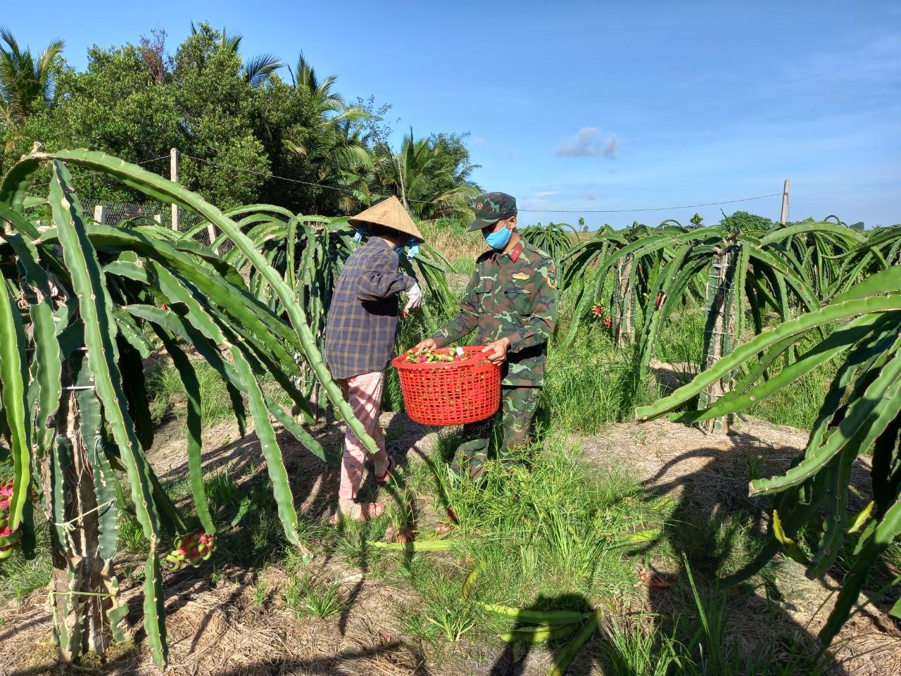 Giúp người dân thu hoạch thanh long