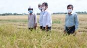 Tạo điều kiện cho thương lái thu mua và vận chuyển lúa Hè Thu dễ dàng