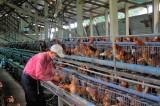 Chủ động phòng, chống dịch bệnh trên gia súc, gia cầm