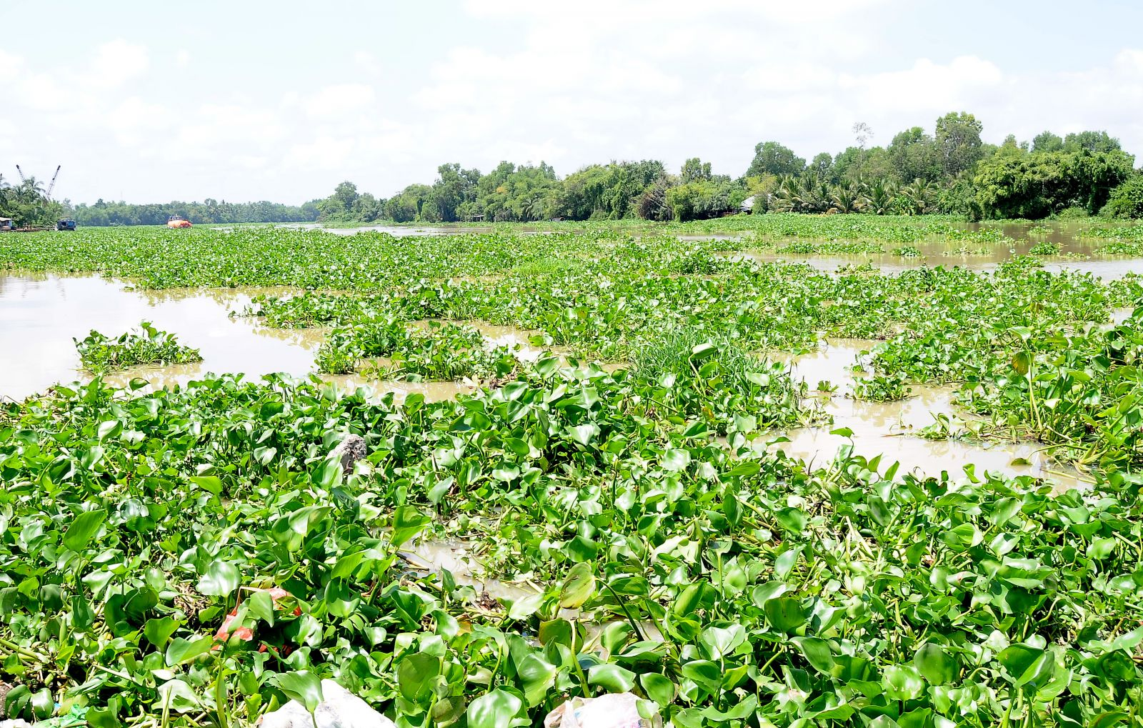 Water hyacinth on Vam Co Tay river is still a problem affecting production in some communes of Thanh Hoa and Moc Hoa districts