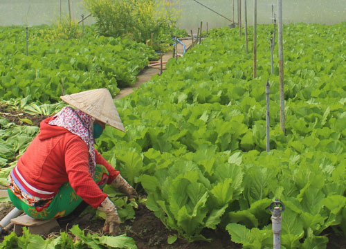 Mustard green is one of three products selected by Can Duoc district to participate in the OCOP program