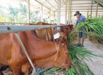 Hợp tác xã, cơ sở nuôi bò công nghệ cao có thể được hỗ trợ 1 tỉ đồng đầu tư đổi mới trang thiết bị