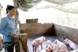 Phòng dịch tả heo châu Phi, bảo vệ đàn vật nuôi