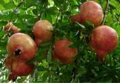 12 tác dụng chữa bệnh từ cây lựu