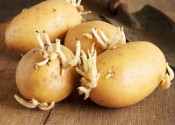 Khoai tây mọc mầm gây độc như thế nào? 5 lưu ý khi ăn khoai tây để đảm bảo cho sức khỏe